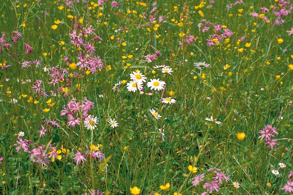 Wildblumenwiese07