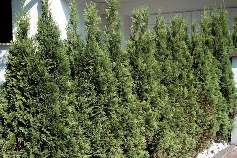 Lebensbaum/Thuje jetzt kaufen bei HORNBACH Österreich