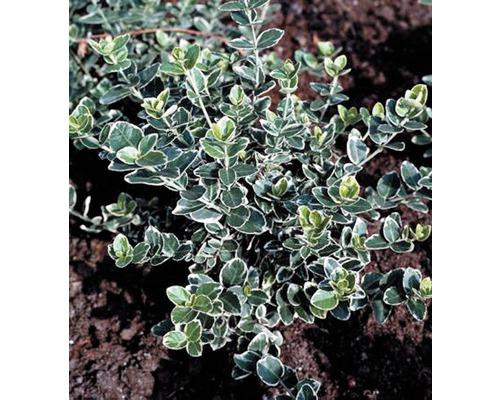 12 x Weißbunte Kriechspindel FloraSelf Euonymus fortunei 'Emerald n Gaiety' H 10-15 cm Co 0,3 L