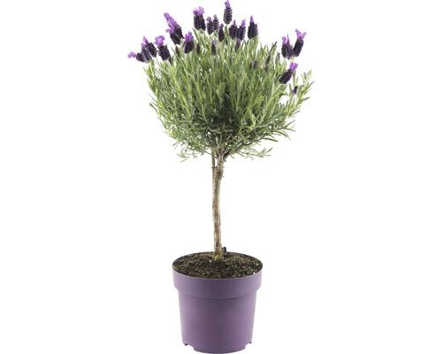 Schopflavendel FloraSelf® Lavandula stoechas 'Anouk' Stämmchen H 55 cm Ø 14 cm