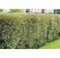 Heckenpflanze Kugel-Weide 'Nana' 30/40 cm 3 L-Topf