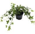 6 x gezacktblättriger Efeu FloraSelf Hedera helix 'Green Ripple' H 15-20 cm Co 1 L