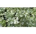 6 x Spindelstrauch Euonymus fortunei 'Harlekin' H 15-20 cm Co 0,8 L