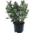 6 x Japanischer Spindelstrauch FloraSelf Euonymus japonicus 'Katy' H 15-20 cm Co 1 L