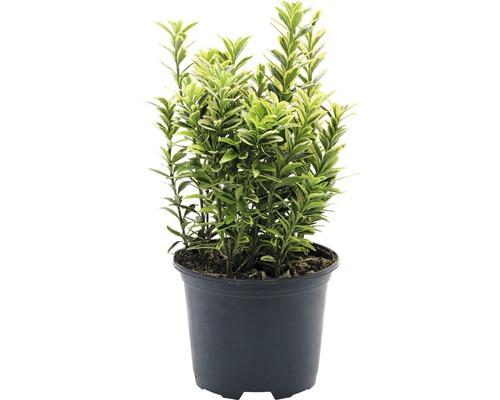 6 x Japanischer Spindelstrauch- kleinblättrig FloraSelf Euonymus japonicus 'Microphyllus Aureovariegatus' H 15-20 cm Co 1 L