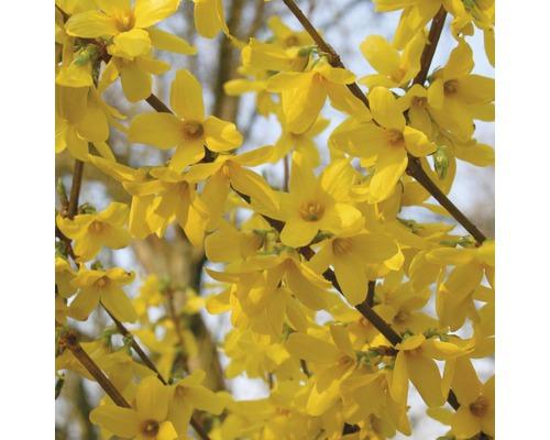 Goldglöckchen FloraSelf Forsythia intermedia 'Week End'® H 80-100 cm Co 10 L
