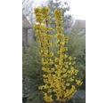 Goldglöckchen FloraSelf® Forsythia intermedia 'Goldrausch' 40-60 cm