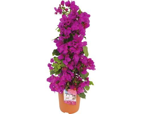 Drillingsblume FloraSelf® Bougainvillea Glabra sandriana 'Renate' Ø 19 H 20-55 cm
