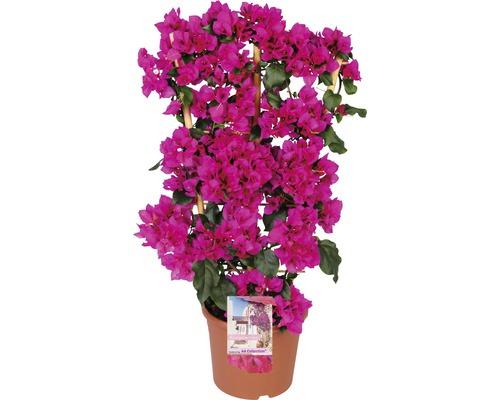 Drillingsblume FloraSelf® Bougainvillea Glabra sandriana 'Renate' Ø 23 H 20-85 cm lila