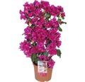Drillingsblume FloraSelf® Bougainvillea Glabra sandriana 'Renate' Ø 21 H 20-55 cm