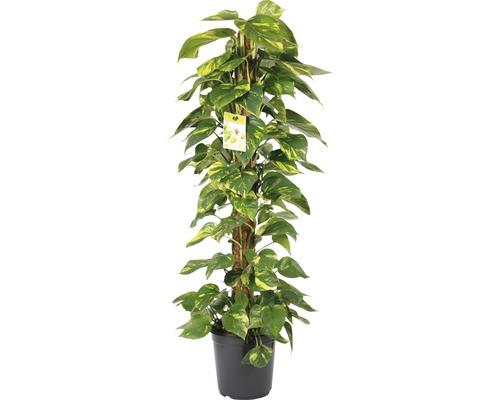 Efeutute FloraSelf Scindapsus aureum H ca. 120 cm Ø 24 cm Topf