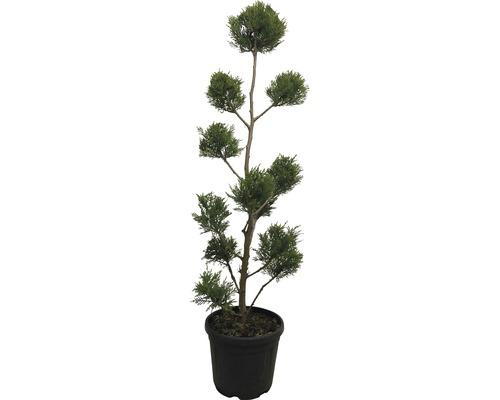 Englische Zypresse Cupressocyparis leylandii PonPon 130cm Co 18L