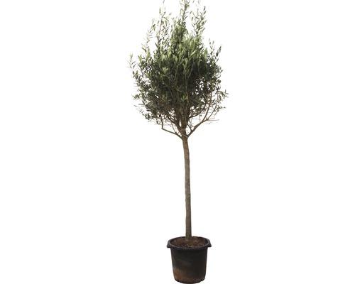 Olivenbaum Olea europea Stämmchen 160-180cm 35er Topf