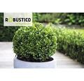 Buchsbaum-Alternative Ilex crenata 'Robustico' Kugel 25 cm 5 Liter Topf
