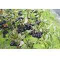 Zierstrauch Apfelbeere/Aronia prunifolia 'Viking' 60/80 cm