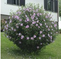 Laubstrauch Eibisch Hibiscus syriacus 'Woodbridge' 30/40 cm