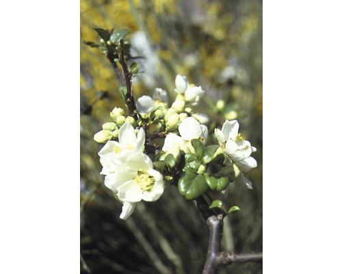 Laubstrauch Zierquitte Chaenomeles 'Nivalis' 20/40 cm