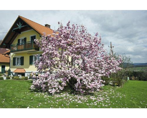 Laubbaum Magnolie Magnolia soulangeana 60/80 cm