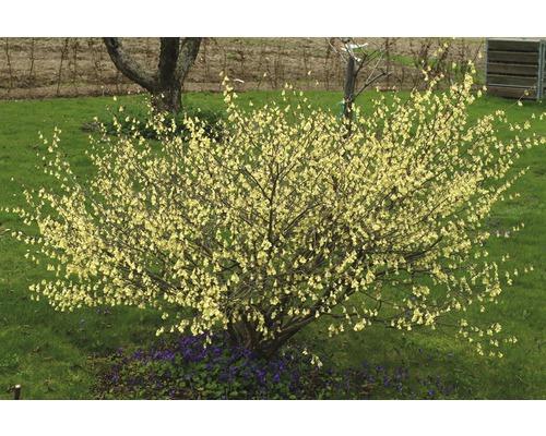 Laubstrauch Niedrige Blumenhasel 15/30 cm