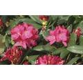 Rhododendron 'Nova Zembla' 30/40 cm