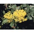 Laubstrauch Mahonia aquifolium 30/60 cm