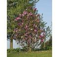 Laubbaum Magnolie 'Susan' 60/80 cm