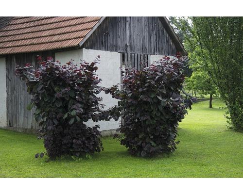 Laubstrauch Blut-Hasel 'Purpurea' 40/60 cm