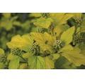 Laubstrauch Physocarpus/Gelbblättrige Blasenspiere 'Dart's Gold' 30/40 cm