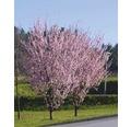 Laubbaum Blutpflaume 'Nigra' 40/60 cm