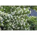 Laubstrauch Philadelphus/Falscher Jasmin 'Belle Etoile' 40/60 cm