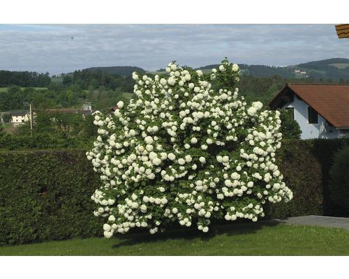Laubstrauch Schneeball 'Roseum' 30/40 cm
