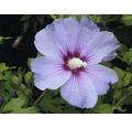 Laubstrauch Eibisch/Hibiscus 'Blue Bird' ca 40 cm