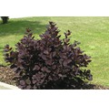 Rotblättriger Perückenstrauch/Cotinus coggygria 'Royal Purple' 40/60 cm, im Topf