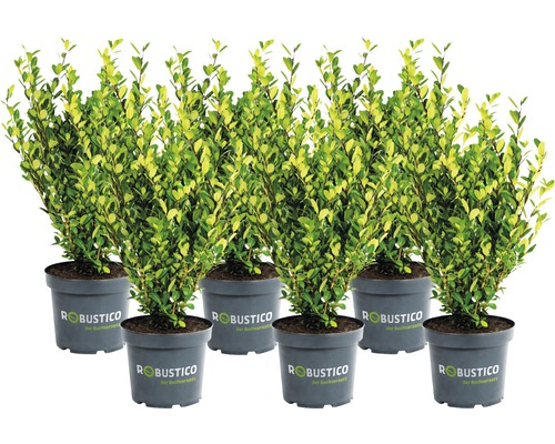 Buchsbaum-Alternative Ilex crenata 'Robustico' 10/15 cm