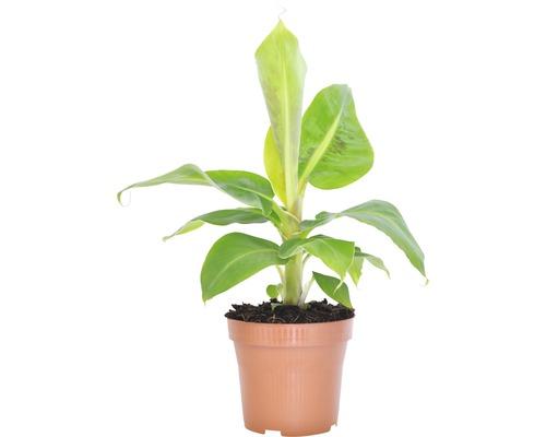 Zierbanane FloraSelf Musa bananarama H 25-35 cm Ø 12 cm Topf