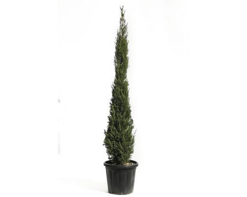 Mittelmeer-Zypresse 'Pyramidalis' FloraSelf Cupressus sempervirens 'Pyramidalis' H 175-200 Co 25 L