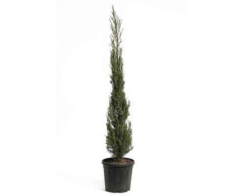 Mittelmeer-Zypresse 'Pyramidalis' FloraSelf Cupressus sempervirens 'Pyramidalis' H 125-150 cm Co 15 L