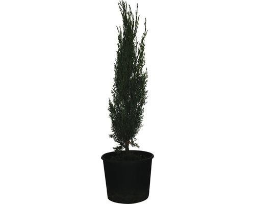 Mittelmeer-Zypresse 'Totem' FloraSelf Cupressus sempervirens 'Totem' H 60-70cm Co 3 L