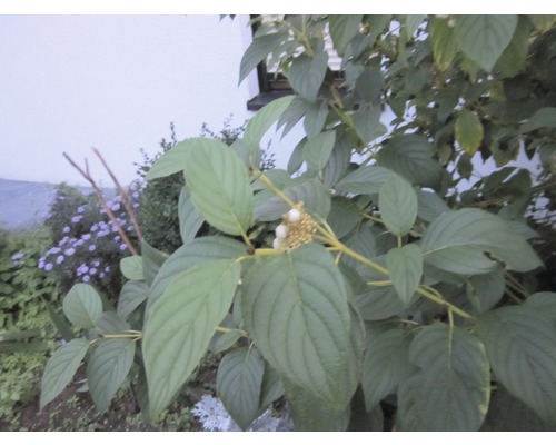 Gelbholziger Hartriegel 'Flaviramea', 100-125cm