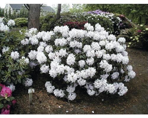 Zierstrauch Rhododendron/Alpenrose 'Cunningham´s White' 40/50 cm, im Topf