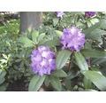Zierstrauch Rhododendron/Alpenrose 'Alfred' 30/40 cm, im Topf