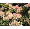 Zierstrauch Rhododendron/Alpenrose 'Brasilia' 30/40 cm, im Topf