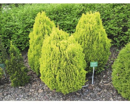 Gehölze-Set Vorgarten Schatten Morgenländischer Lebensbaum 'Aurea Nana', Kissen-Eibe & Goldene Straucheibe 15/30 cm, im Topf, 3 Stk