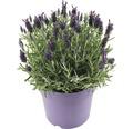 Schopflavendel FloraSelf® Lavandula stoechas 'Anouk' Ø 19 cm