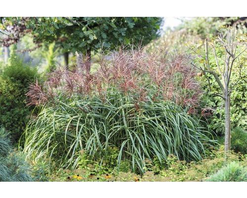 Ziergras China-Schilf/Miscanthus sinensis 'Malepartus' 3 L-Topf