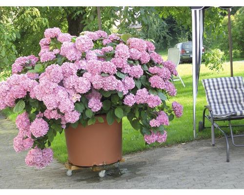 Sträucher-Set Sommerblüher Bauernhortensie weiß, rosa & rot 30/40 cm, im Topf, 3 Stk