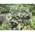 Sträucher-Set Vorgarten-Immergrün Breitwüchsiger Kirschlorbeer, Schattenglöckchen 'Debutante' & Schattenglöckchen 'Moutain Fire' 20/40 cm, im Topf, 3 Stk