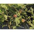 Steirerfeige Ficus carica 20/40 cm