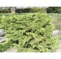 Gehölze-Set Vorgarten Sonne Zwergiger Kugel-Lebensbaum, Serbische Kegelfichte & Serbischer Zwerg-Lebensbaum 20/30 cm, im Topf, 3 Stk