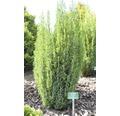 Gehölze-Set Koniferen Zwergiger Kugel-Lebensbaum, Balsam-Tanne & Zwerg-Helmlocktanne 15/25 cm, im Topf, 3 Stk